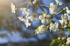 Flor da mola da árvore de cereja, ramo com close up das flores Foto de Stock