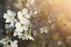 Flor da mola da árvore de cereja, ramo com close up das flores Imagens de Stock Royalty Free