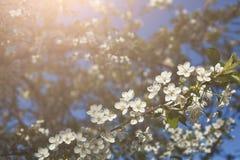 Flor da mola da árvore de cereja, ramo com close up das flores Foto de Stock Royalty Free