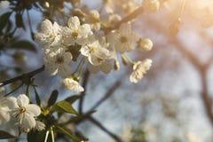 Flor da mola da árvore de cereja, ramo com close up das flores Fotografia de Stock