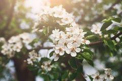 Flor da mola da árvore de cereja, ramo com close up das flores Fotos de Stock Royalty Free