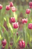 Flor da mola da flor da tulipa no jardim imagens de stock royalty free