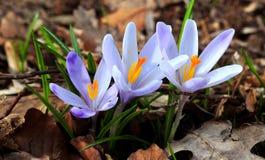 Flor da mola da floresta Fotos de Stock Royalty Free