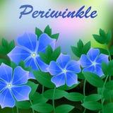 Flor da mola da pervinca no fundo azul com lugar para o texto Vetor Fotografia de Stock Royalty Free
