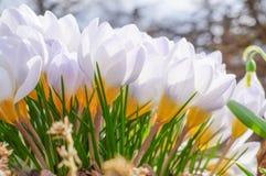 A flor da mola de açafrões bonitos das flores Imagens de Stock