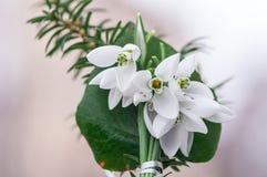 Flor da mola de Snowdrop Foto de Stock