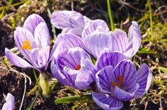 Flor da mola do aç6frão do açafrão a primeira cresce no jardim Foto de Stock