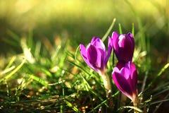 Flor da mola do açafrão imagens de stock