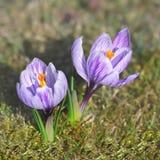 Flor da mola do açafrão Imagem de Stock