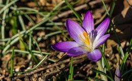 Flor da mola do açafrão Fotografia de Stock