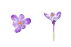 Flor da mola do açafrão isolada no fundo branco Imagens de Stock Royalty Free