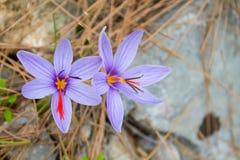 Flor da mola do açafrão no prado da floresta Fotos de Stock