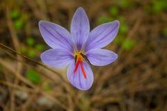 Flor da mola do açafrão no prado da floresta Fotografia de Stock