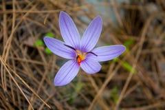 Flor da mola do açafrão no prado da floresta Imagem de Stock Royalty Free