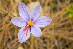 Flor da mola do açafrão no prado da floresta Fotos de Stock Royalty Free