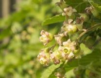Flor da mola do corinto Fotos de Stock Royalty Free