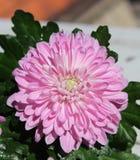Flor da mola do crisântemo Foto de Stock