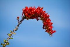 Flor da mola do Ocotillo imagens de stock