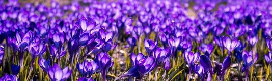 Flor da mola do panorama - açafrões azuis no prado Fotografia de Stock Royalty Free