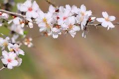 Flor da mola do ramo da árvore de amêndoa imagens de stock
