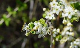 A flor da mola em Rússia das flores brancas de árvores de cereja fotografia de stock royalty free