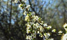 A flor da mola em Rússia das flores brancas de árvores de cereja imagens de stock royalty free