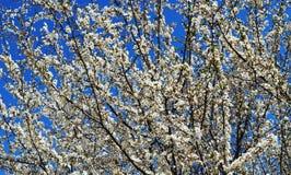 A flor da mola em Rússia das flores brancas de árvores de cereja fotografia de stock