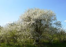 A flor da mola em Rússia das flores brancas de árvores de cereja foto de stock