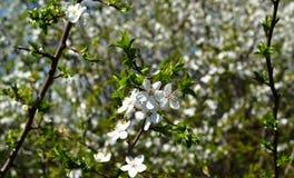 A flor da mola em Rússia das flores brancas de árvores de cereja fotos de stock royalty free