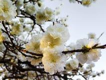 Flor da mola em uma ?rvore fotografia de stock
