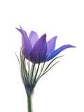 Flor da mola isolada em um fundo branco. Fotografia de Stock Royalty Free