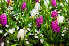 Flor da mola.  jacinto Imagem de Stock Royalty Free