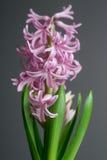 Flor da mola - jacinto cor-de-rosa de florescência Imagem de Stock