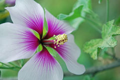 Flor da mola na flor completa Foto de Stock