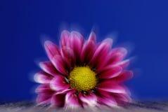 Flor da mola no azul Foto de Stock Royalty Free