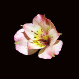 Flor da mola no preto Imagem de Stock Royalty Free