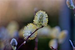 Flor da mola que vai estalar Fotografia de Stock Royalty Free