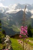 Flor da montanha Foto de Stock Royalty Free