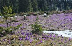 Flor da montanha na montanha carpathian Fotografia de Stock