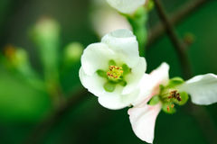 Flor da morango Imagens de Stock