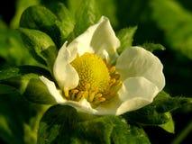 Flor da morango Fotografia de Stock Royalty Free
