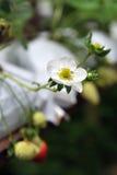 Flor da morango fotos de stock