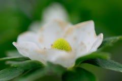 Flor da morango Foto de Stock Royalty Free