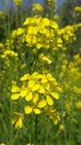 Flor da mostarda foto de stock royalty free
