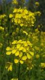 Flor da mostarda fotografia de stock