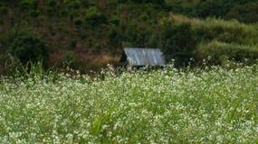 A flor da mostarda no branco fotografia de stock royalty free