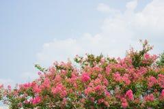 Flor da murta de crepe fotografia de stock