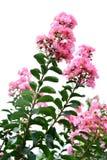 Flor da murta de crepe fotos de stock