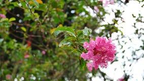 Flor da murta de crepe video estoque