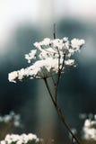 Flor da neve Foto de Stock Royalty Free